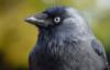 grigoriis: (corvus)