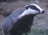 cheekbones3: (Badger2)