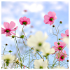 ofearthandstars: Photo of pink and white blossoms against a bright blue sky. (blossoms)