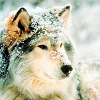 everythingiam: (NATURE :: Wolf)