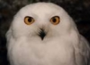 snowywolfowl: (Owl face)