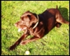 ginger_tales: Labrador x Ridgeback lying in patch of sunlight (Charlie)