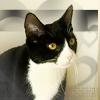 next_to_normal: My cat, black and white tuxedo, on a grey background (Chelsea)