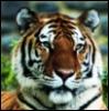 gehayi: (tiger (gehayi))