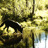 harroe: wolf drinking water (pic#5935753)