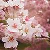 pandora_ravenfrost: (sakura)