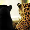 queenofhell: A black panther and a jaguar, sitting together with their backs to the camera. (Felid)