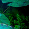 redsixwing: Picture shows two water lily leaves with stem plants growing in their shade. (stems)