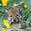elinox: (Wolf Pup with Daisy)