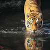 lireavue: A tiger and its reflection drinking water in a still river. (water tiger)