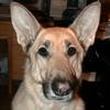 law_nerd: Alert German Shepherd Dog with big ears (Loco)
