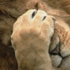 law_nerd: Lion with one paw over it's face: face!palm (FacePalm)