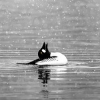 killing_rose: A loon in a snowstorm, trying to catch the snowflakes. (Westchester Lagoon, Anchorage, AK) (Loon)