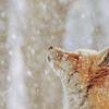 dots: foxes own (snowfox)