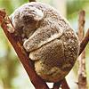 lunatrigger: (koala)
