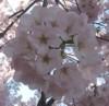 vamysteryfan: (cherry blossoms)