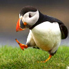 st_aurafina: Puffin, walking tilted forwards, expression of great purpose (Puffin: srs business bird)