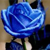 theoretical_cat: A photo of a blue rose. (Default)