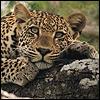allati: (Leopard - Lying - ?)