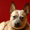 threepointonefour: a portrait of my dog Oz (ozzie)