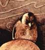 crivelli: (goldfinch)