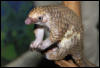 box_of_pangolins: A baby pangolin. (pic#6044552)