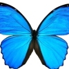 angryyoungvamp: A Blue Morpho butterfly (Butterfly of Change)