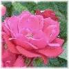 rose_griffes: (rose1)