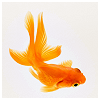 raletha: a pretty orange goldfish (animals - goldfish - orange)