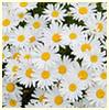 abigail89: (summer daisy 08)