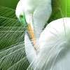 queenlua: A great egret displaying its plumage. (Great Egret)