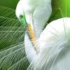 queenlua: A great egret displaying its plumage. (Great Egret)