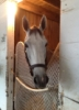zirconium: Photo of Joyful V (racehorse) in stall (Joyful Victory)