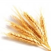 nightdog_barks: Five golden heads of wheat against a white background (Wheat)