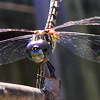 ext_426234: (dragonfly)