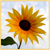 branchandroot: sunflower (sunflower)