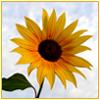 branchandroot: sunflower (sunflower)