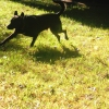 kayliemalinza: My dog Traf running through the backyard (Default)