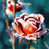 rosewine: (flower: frosty rose)