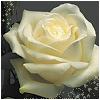 alisanne: (white rose)