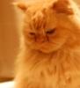 wheelieterp: A shot of Afsoun (Orange Persian Cat), looking pensive (HRHTPTKG)