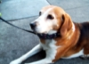 karaokegal: (beagle)