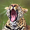 piranha: yawning leopard (yawn)