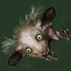 piranha: an aye-aye, a madagaskar lemur, with ears and hair standing out from its head (funny)