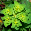 kaberett: Euphorbia cf. serrata, green crown of leaves/flowers central to image. (spurge)