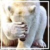 sage: close-cropped photo of polar bear holding its right front paw over its face. (facepalm)