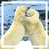 sage: photo of two polar bears standing on hind legs, embracing. (bear hug)