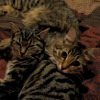 ironed_orchid: two tabby kittens lying with their heads on each other's shoulders. The one on the right is looking at the camera (Tabbies)