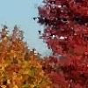 ilyena_sylph: local fall leaf color (Photos: fall leaves)