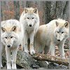 klgaffney: (arctic wolves.)